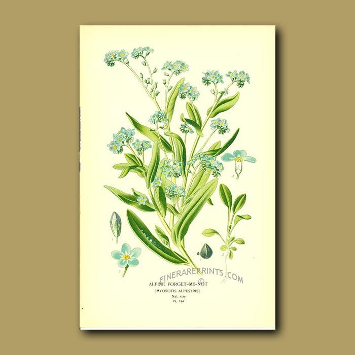 Antique print. Alpine Forget-Me-Not