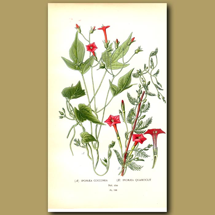 Antique print. Mexican Morning Glory