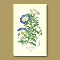 Convolvulus Tricolor Or Morning Glory (Minor Convolvulu)