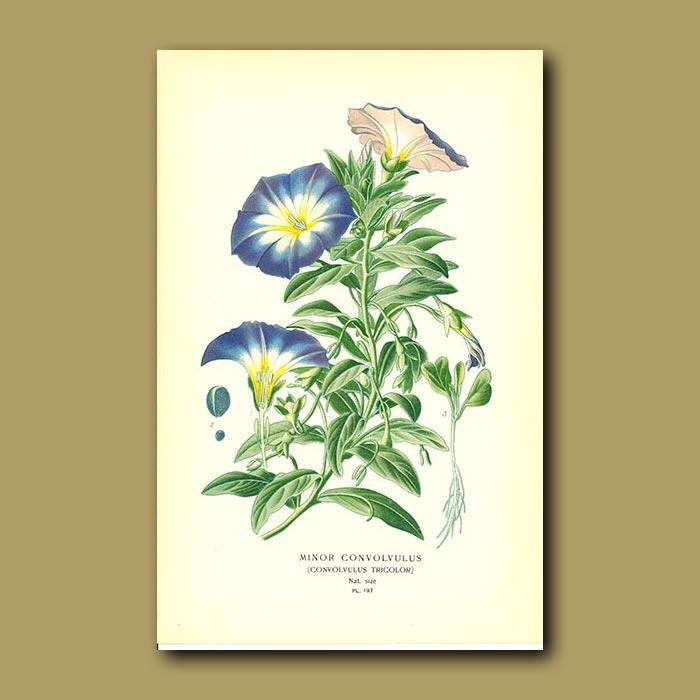 Antique print. Convolvulus Tricolor Or Morning Glory (Minor Convolvulu)