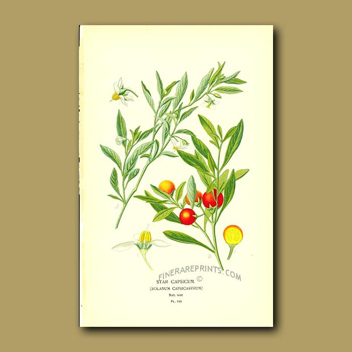 Antique print. Star Capsicum