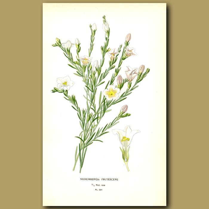 Antique print. Cup Flower
