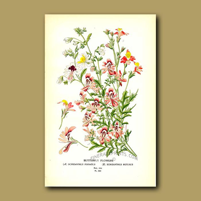 Antique print. Butterfly Flowers
