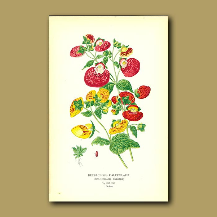Antique print. Herbaceous Calceolari (Calceolaria Hybrid)