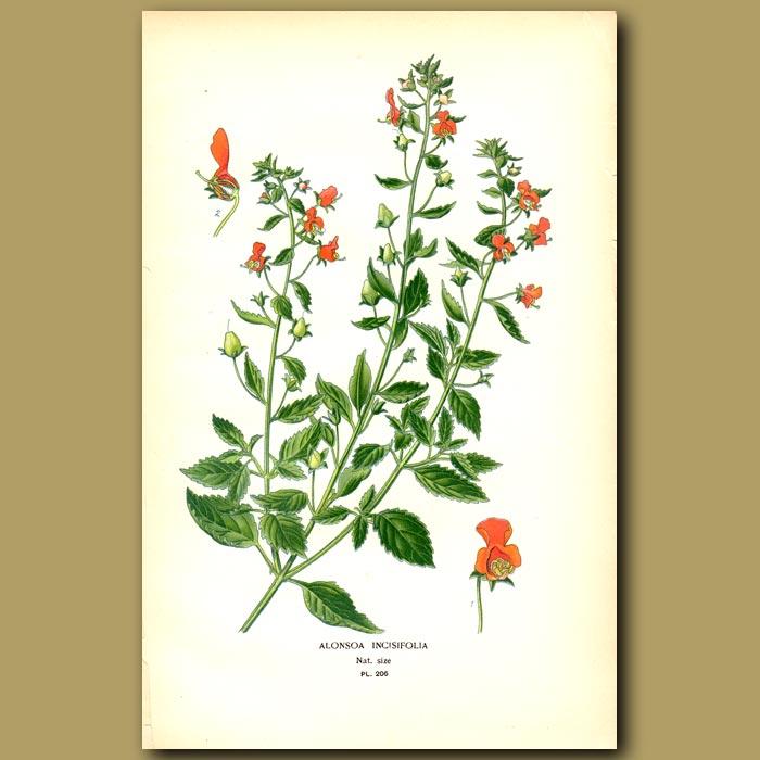 Antique print. Mask Flower