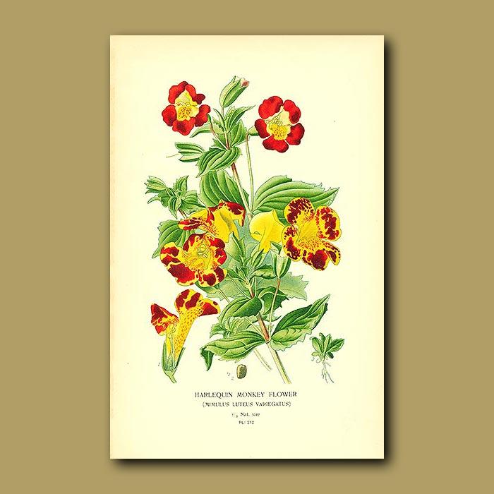 Antique print. Harlequin Monkey Flower (Mimulus Luteus Variegatu)