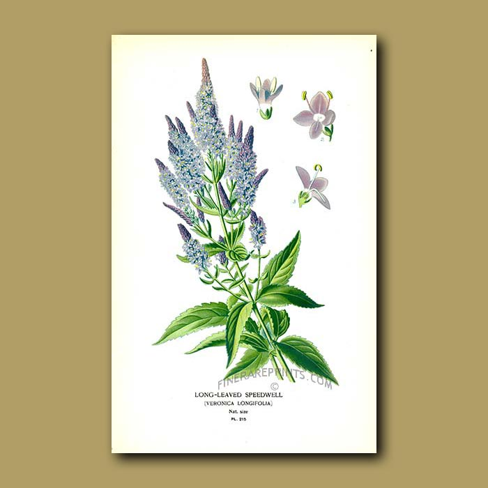 Antique print. Long-Leaved Speedwell