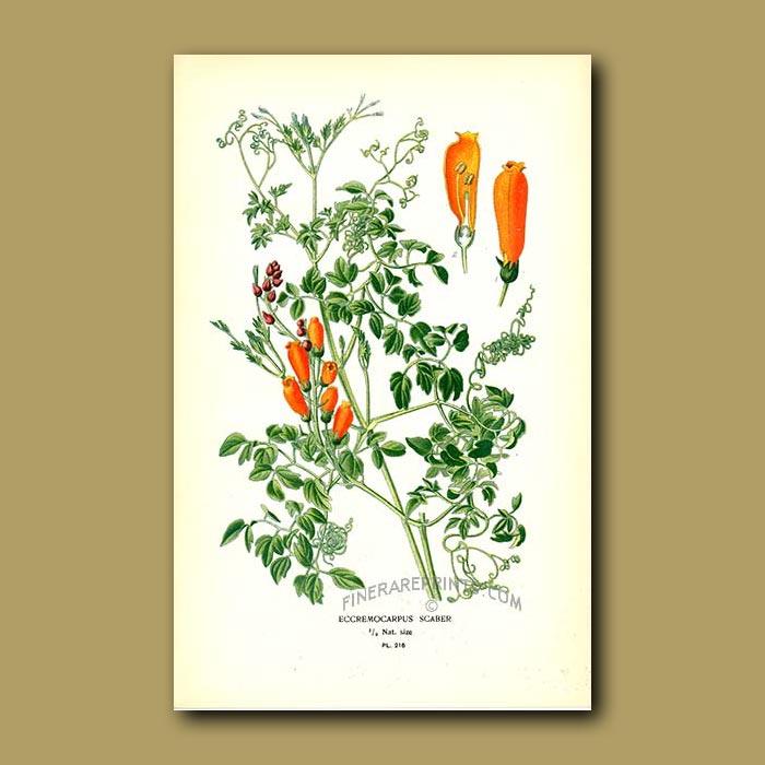 Antique print. Chilean Glory Flower