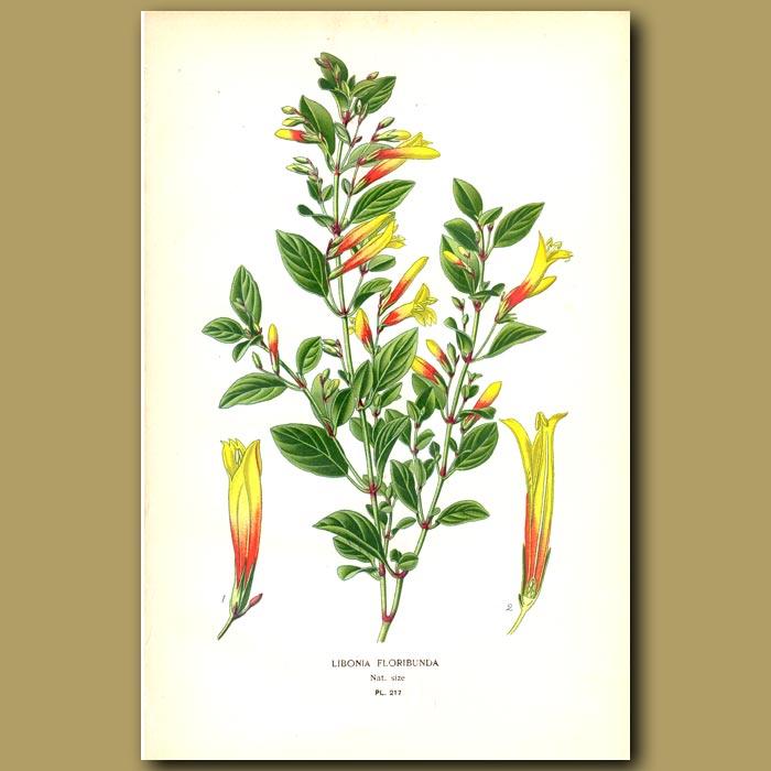 Antique print. Libonia floribunda