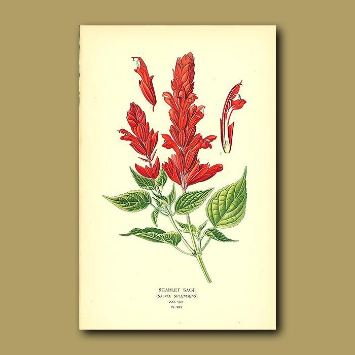 Antique print. Scarlet Sage (Salvia Splendens)