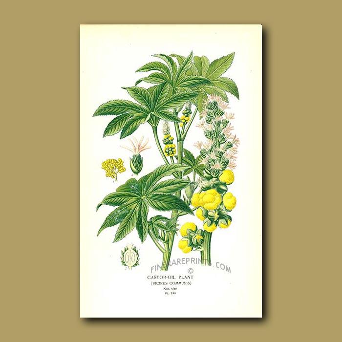 Antique print. Castor-Oil Plant