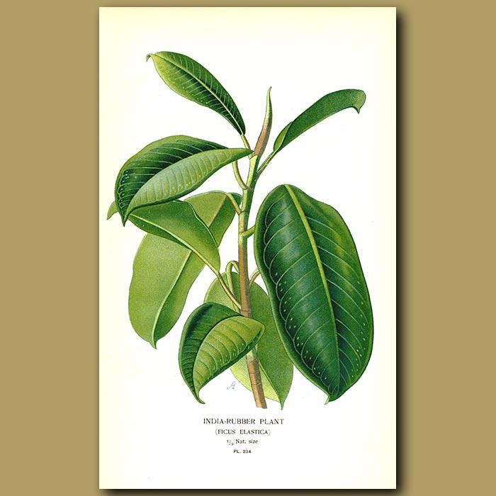 Antique print. India Rubber Plant