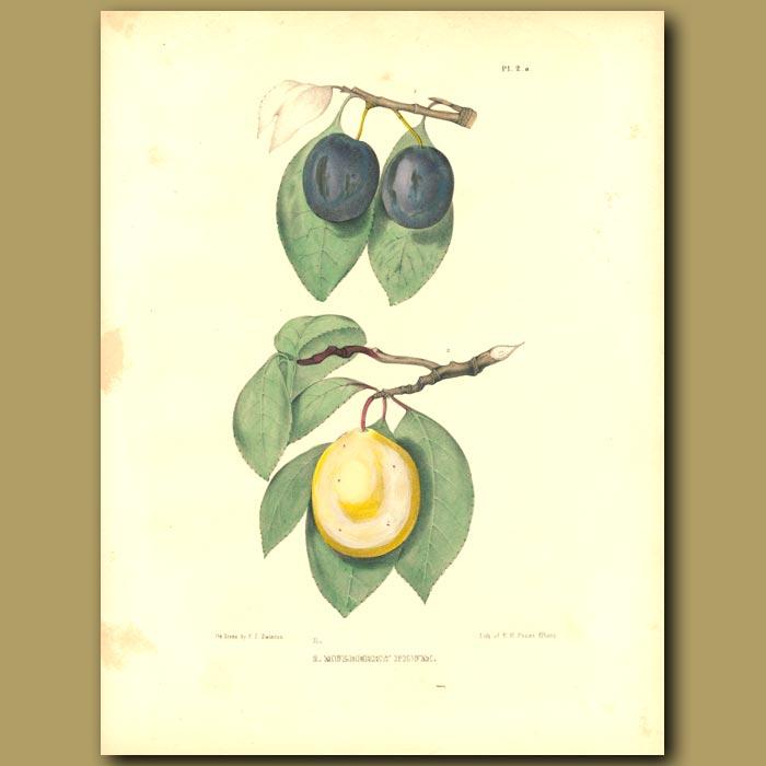 Antique print. Plums:Mulberry Plum