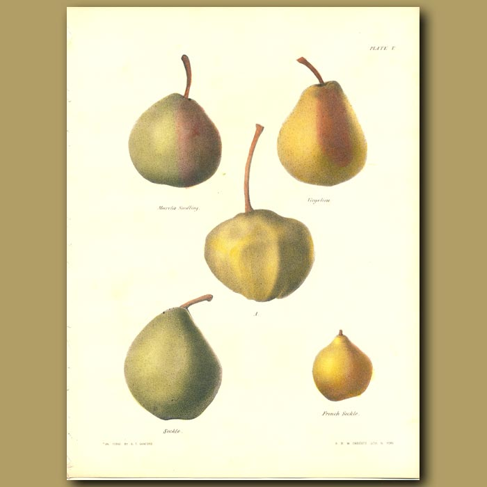 Antique print. Pears:March's Seedling, Virgalieu, Seckle and French Seckle