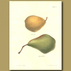 Pears:Swan Pear and Winter Bell Pear