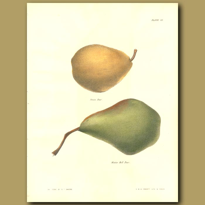 Antique print. Pears:Swan Pear and Winter Bell Pear