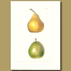 Pears:Frederic de Wurtemburg and Easter Beurre