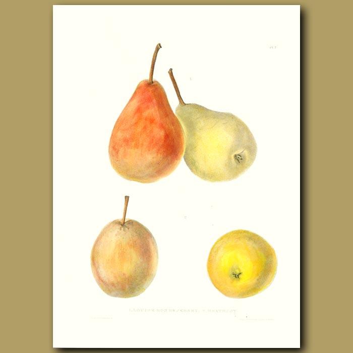Antique print. Pears:Louise Bon de Jersey and Heathcot