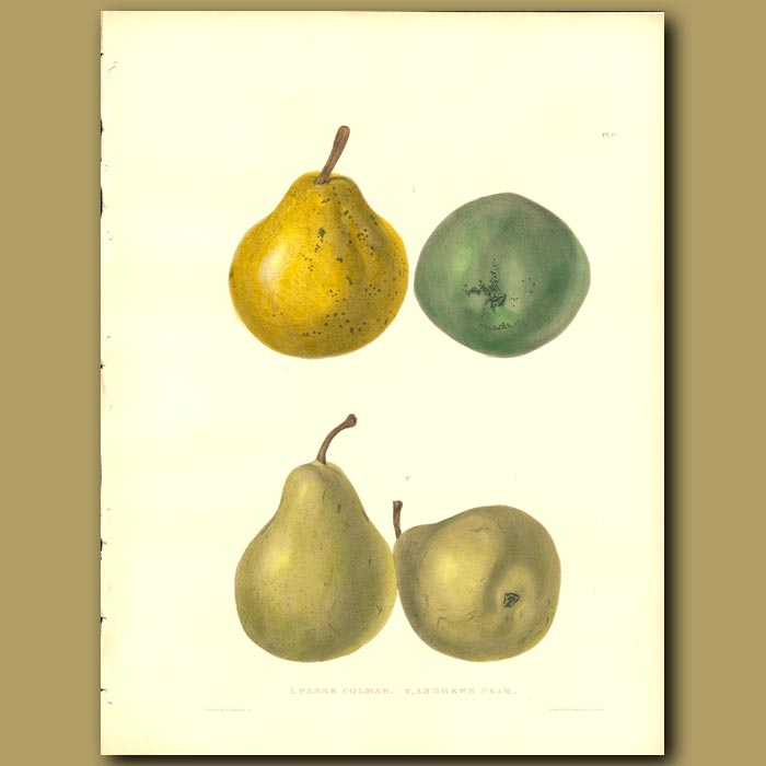 Antique print. Pears:Passe Colmar and Andrew's Pear