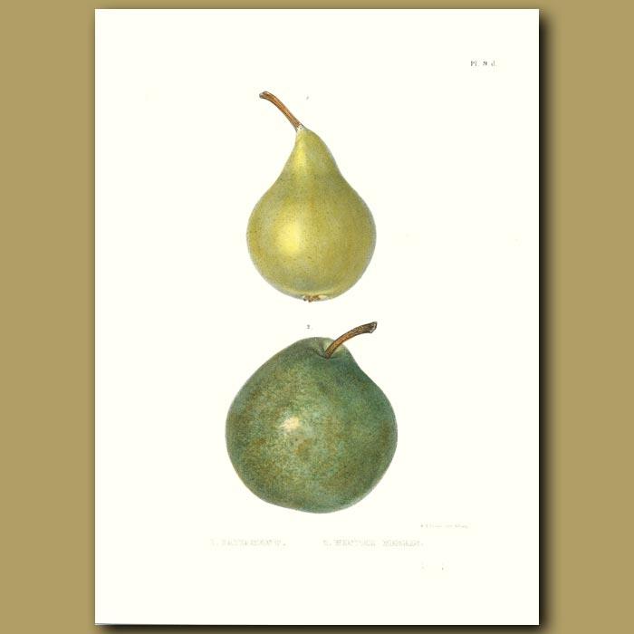 Antique print. Pears:Capiamont and Winter Neelis
