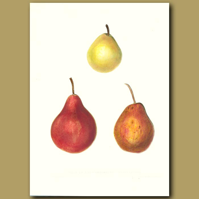 Antique print. Pears:Seckel, Roi de Wurtemberg and Marie Louise