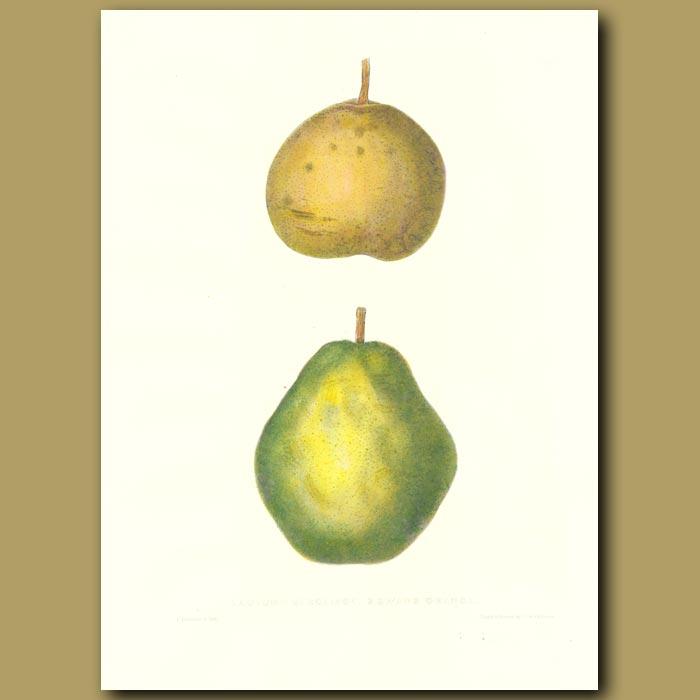 Antique print. Pears:Autumn Bergamot and Swans Orange