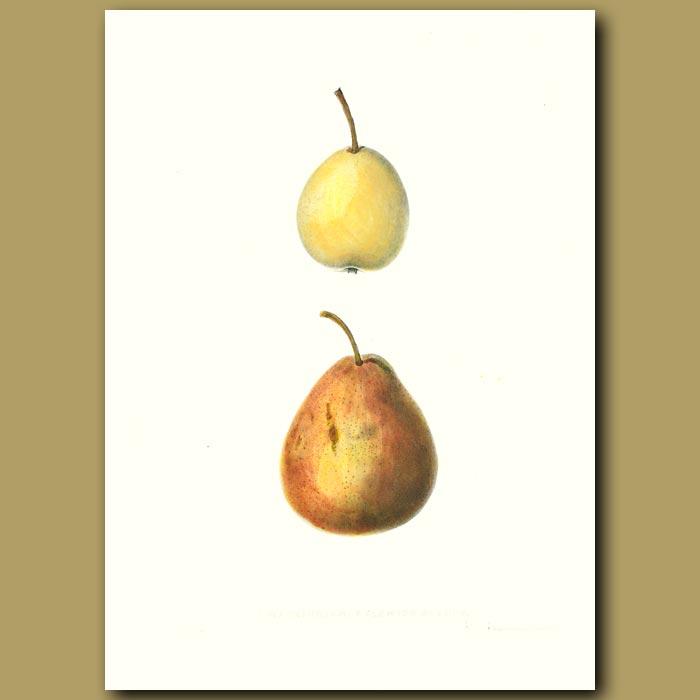 Antique print. Pears:Washington and Flemish Beauty