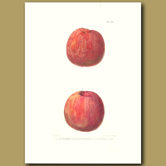 Antique print. Apples:Autumn Strawberry and Jonathan