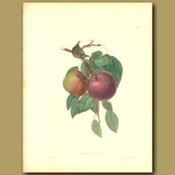 Apples:Jersey Crab