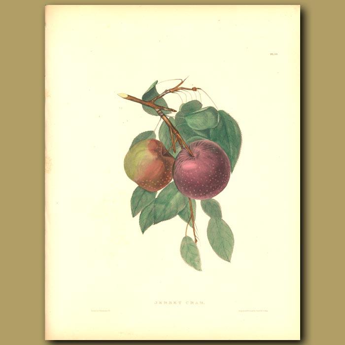 Antique print. Apples:Jersey Crab