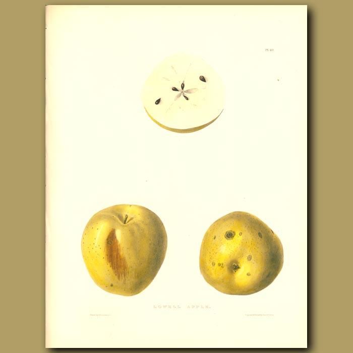 Antique print. Apples:Lowell Apple
