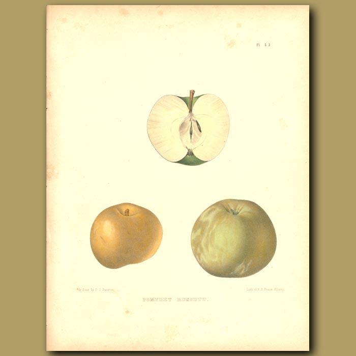 Antique print. Apples:Pomfret Russett
