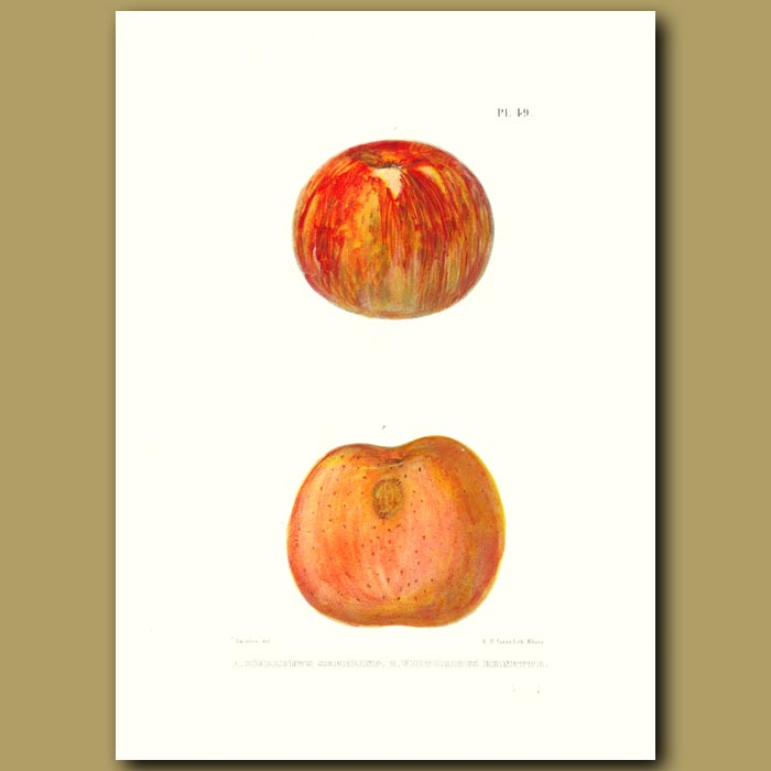 Antique print. Apples:Hurlbuts seedling and Victorious Reinette