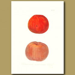 Apples:Spanish Pippin and Hubbardston Nonsuch