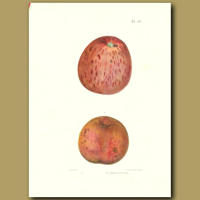 Antique print. Apples:Marks' New Strawberry and Sheepnose