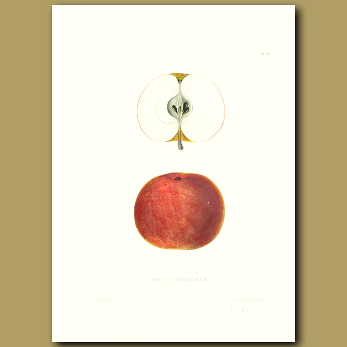 Antique print. Apples:Red Astrachan