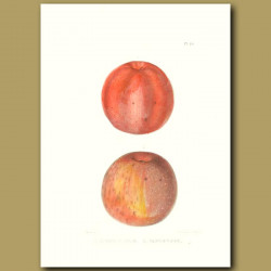 Apples:Ridge Pippin and Vandeveer