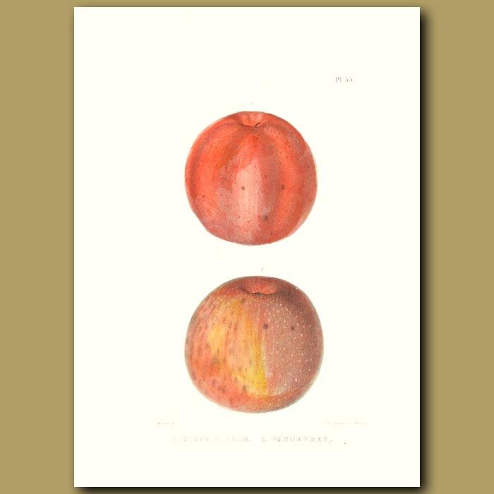 Antique print. Apples:Ridge Pippin and Vandeveer