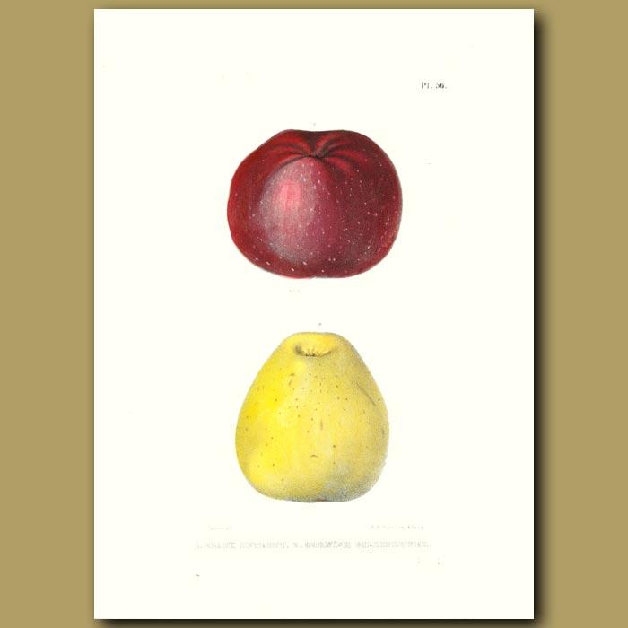 Antique print. Apples:Black Detroit and Cornish Gilliflower