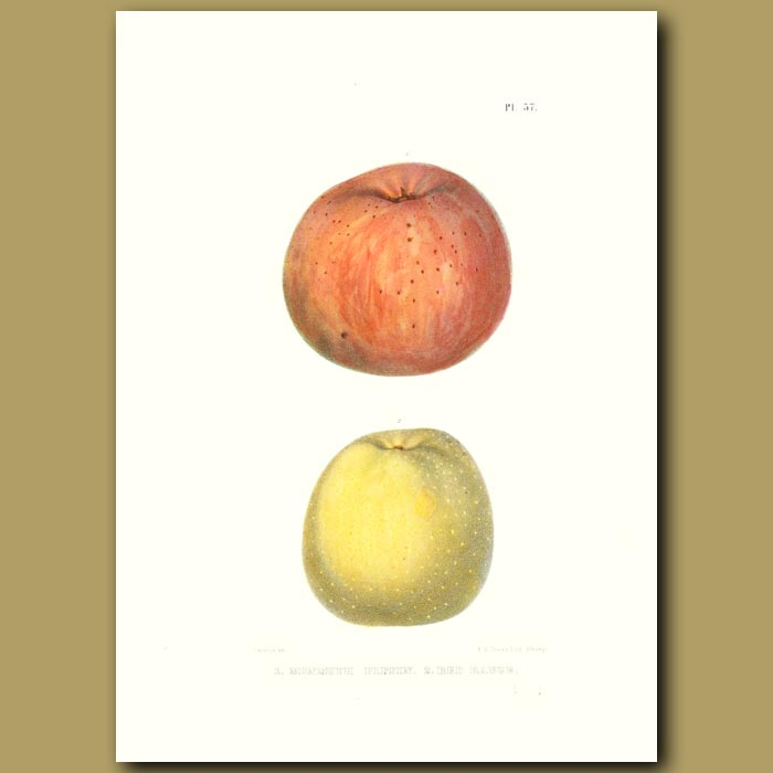 Antique print. Apples:Monmouth Pippin and Red Rance