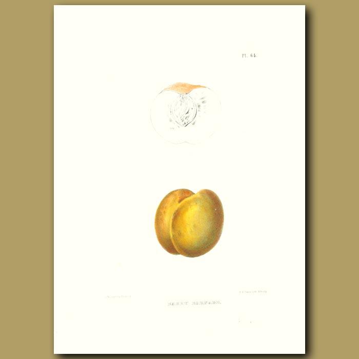 Antique print. Peach:Early Barnard