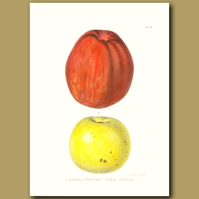 Antique print. Apples:Virginia Sweeting and Fall Harvey