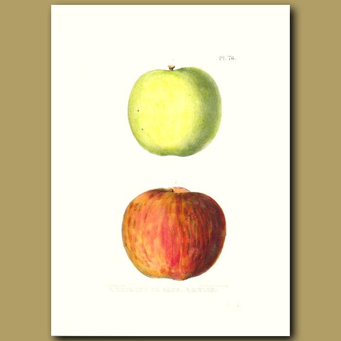 Antique print. Apples:Belmont and Melon
