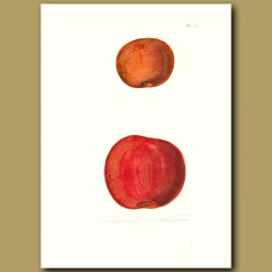 Apples:Pomme Gris and Coopers Redling
