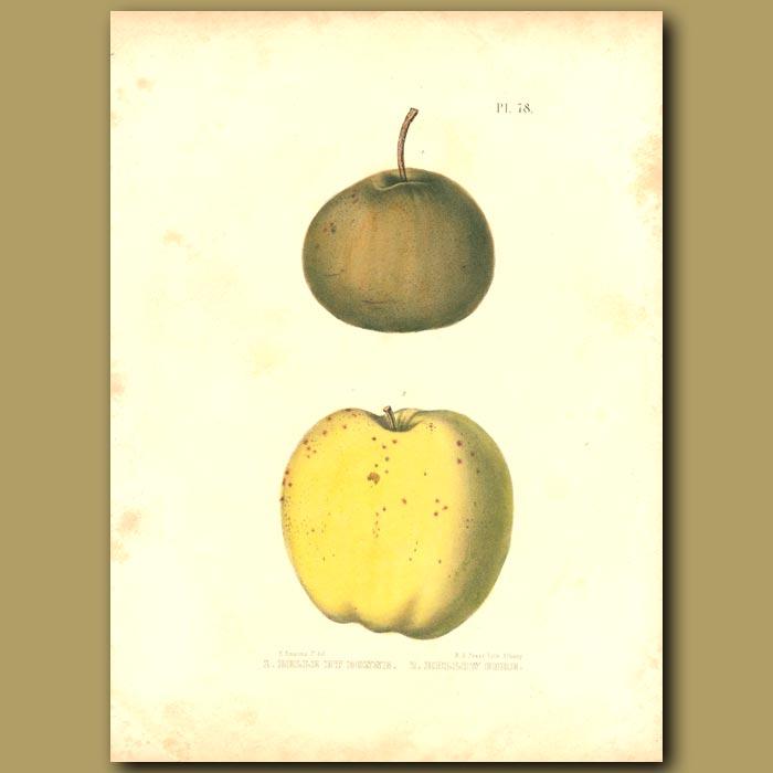 Antique print. Apples:Belle et Bonne and Hollow Gore