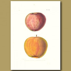 Apples:Halls Pippin and Holland Pippin