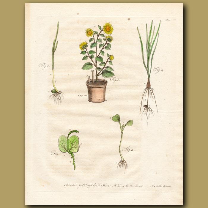 Antique print. Growing plants