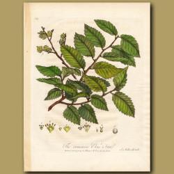 The Common Elm Tree