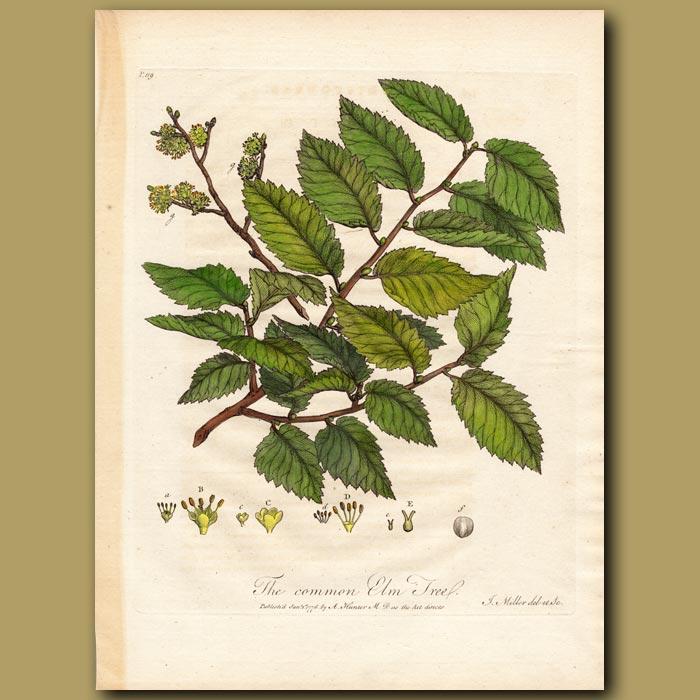 Antique print. The Common Elm Tree
