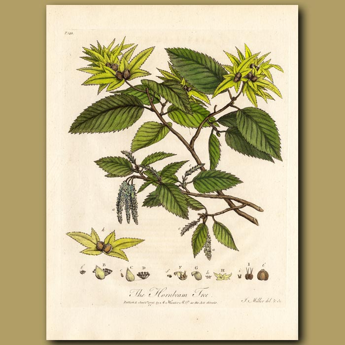 Antique print. The Hornbeam Tree